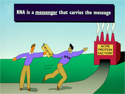 Illustration showing the RNA carrying the DNA's message.