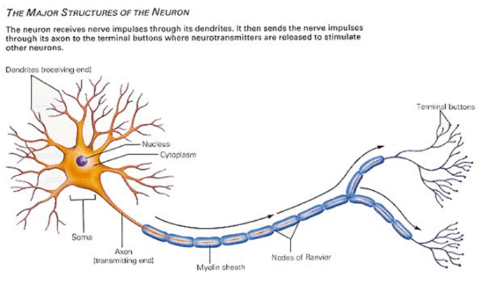 Illustration of the major structures of a neuron