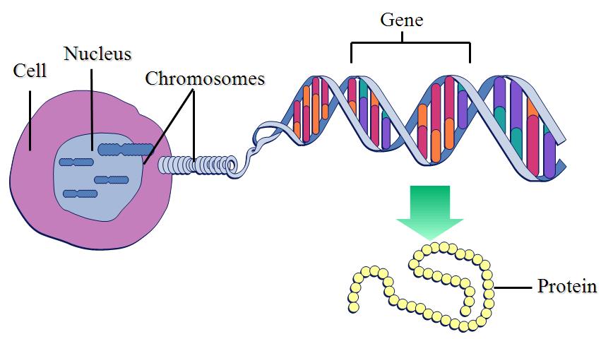 Prevalencegenetics And Inheritance National Fragile X Foundation