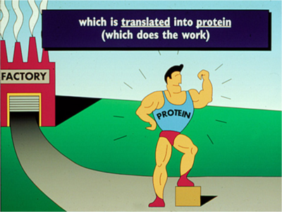Illustration showing the message received and translated into protein with a strong man flexing his muscles wearing a shirt reading PROTEIN