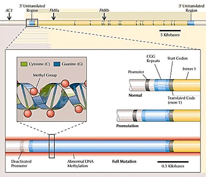 FMR1 Gene Categories