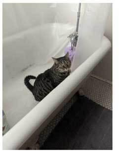 A cat in a bathtub taking a shower.