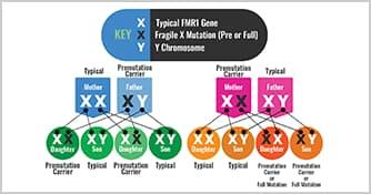 Inheritance of Fragile X